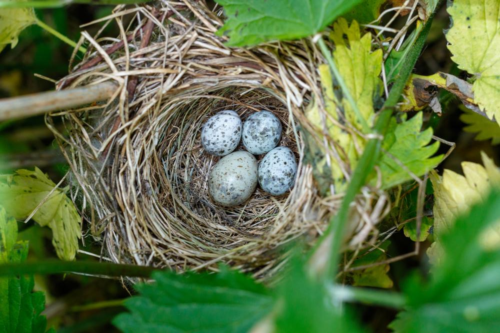 cuckoo nest