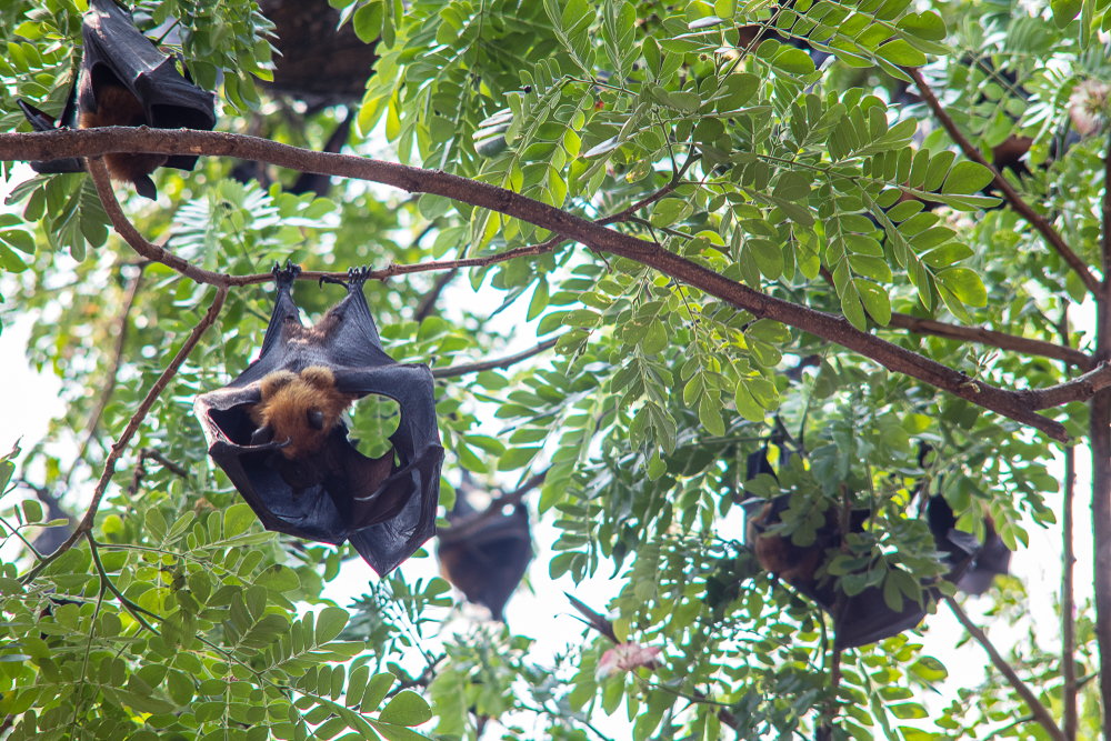 bat mom breastfeeding offspring