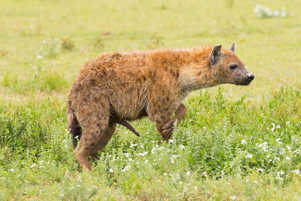 spotted hyena with penis