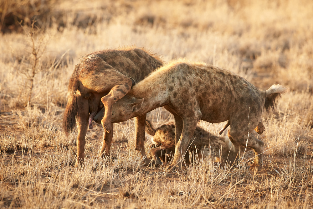 spotted hyena females