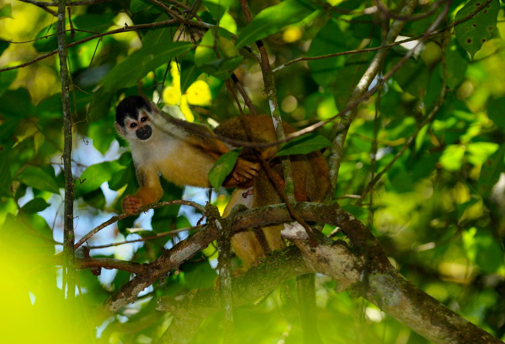 animal homosexuality is a way to establish dominance for squirrel monkeys