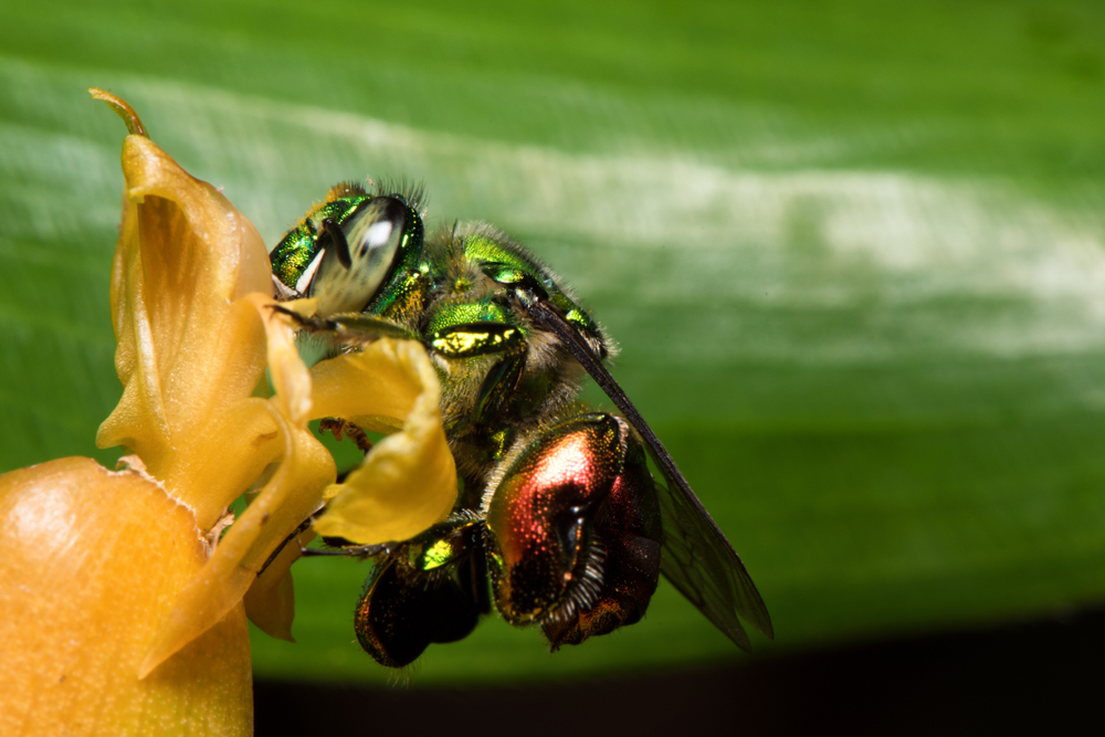 male orchid bees create their own perfume as their form of male pheromones