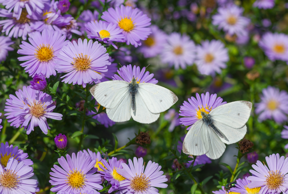 the cabbage white butterfly's male pheromones act as an anti-aphrodisiac