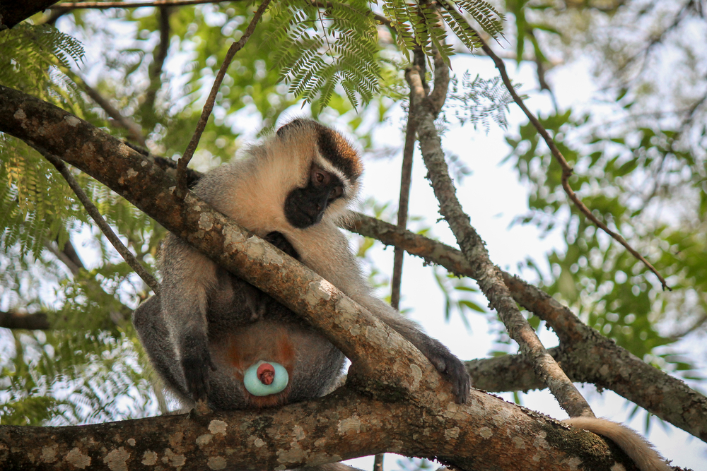animal homosexuality in male vervet monkeys