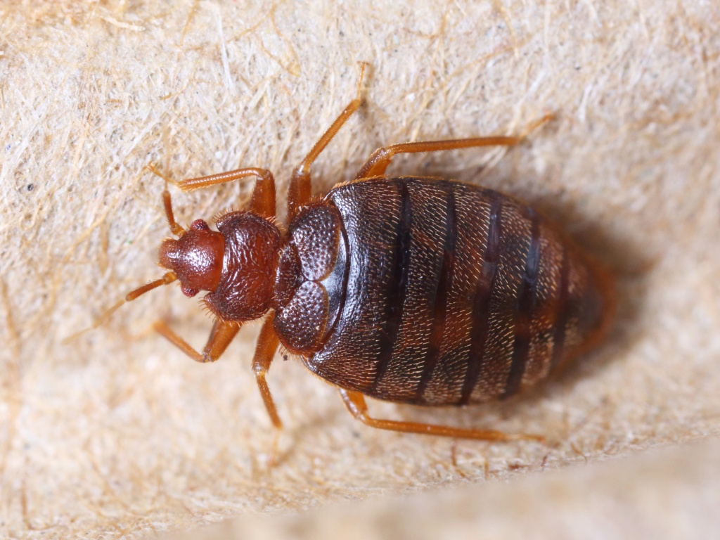 bed bug sex is called traumatic insemination