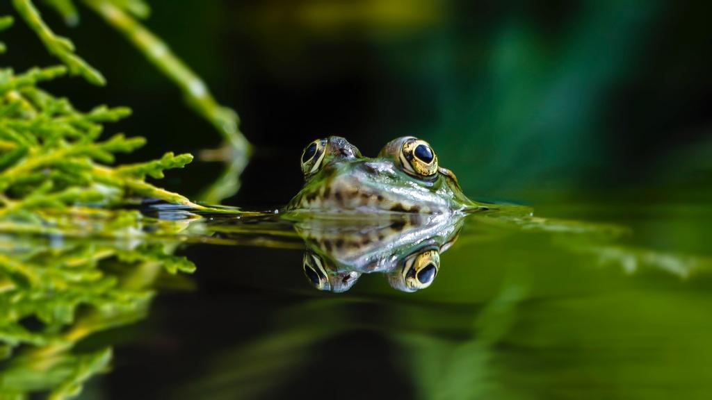 explosive breeding frogs