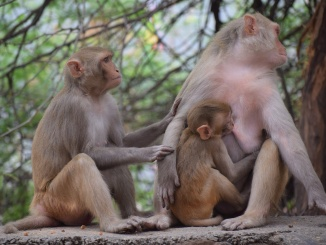 primate breastfeeding