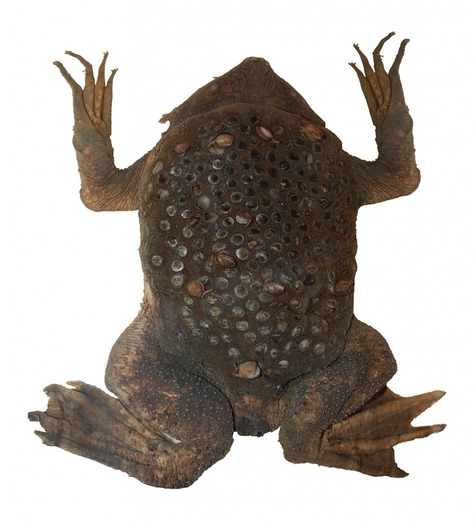 pseudoviviparity in the surinam toad