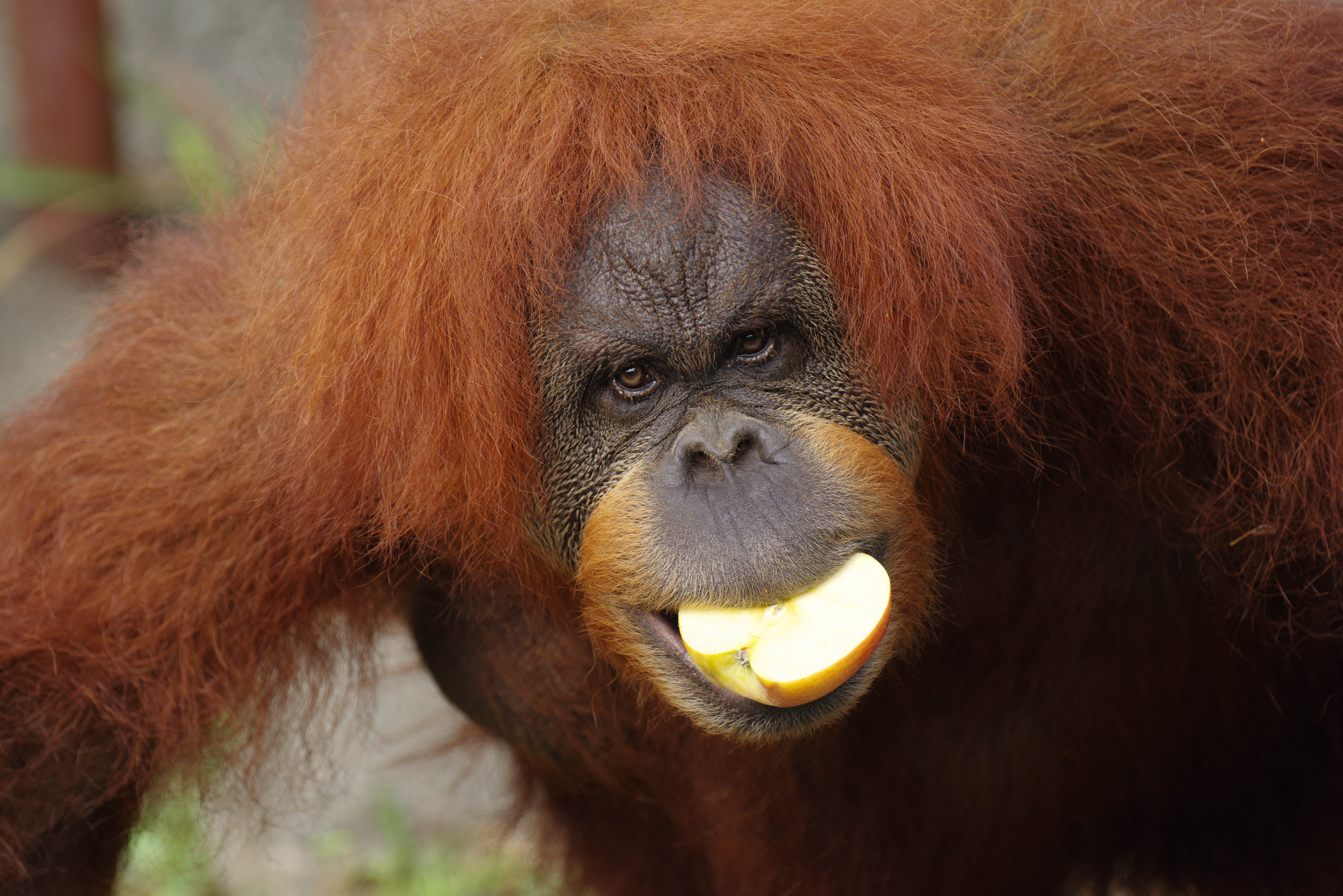 female orangutans steal food from males as a test