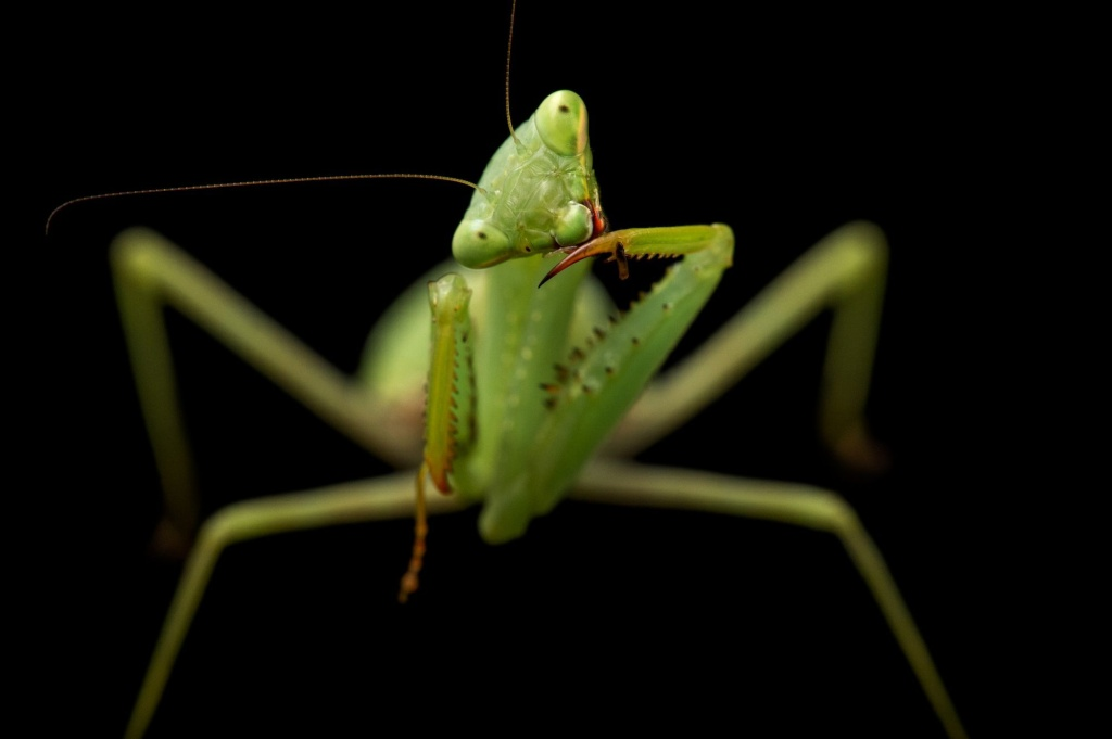 female springbok mantis asexual reproduction