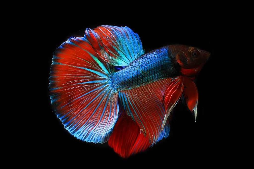 "Siamese fighting fish females prefer a ""lover"" behavioural type rather than fighters."