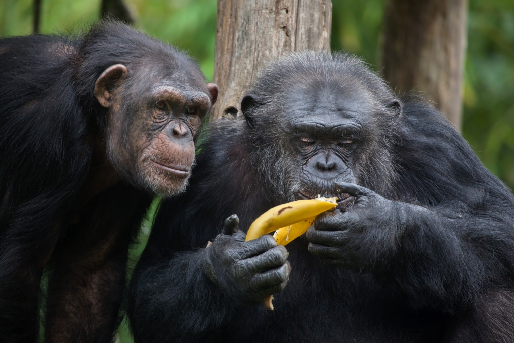 primate food signalling changes based on the situation